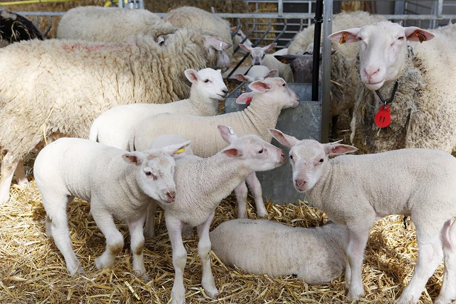 Schapenboerderij De Wollekes - Lamsvlees