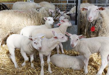 Schapenboerderij De Wollekes - Schapenfokkerij