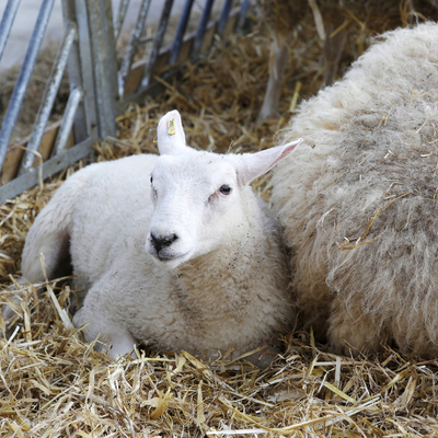 Schapenfokkerij De Wollekes - Schapenboerderij